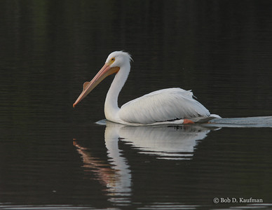 Pelecanus erythrorhynchos - American White Pelican