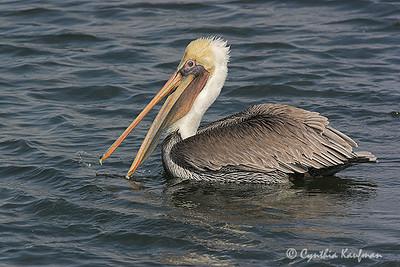 Pelecanus occidentalis - Brown Pelican