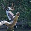 Australian Pied Cormorant - hypoleucos ssp