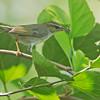 Arctic Warbler