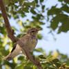 Arctic Warbler - kennicoti ssp