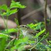 Artic Warbler - kennicoti ssp