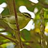 Mountain Leaf Warbler - kinabaluensis ssp