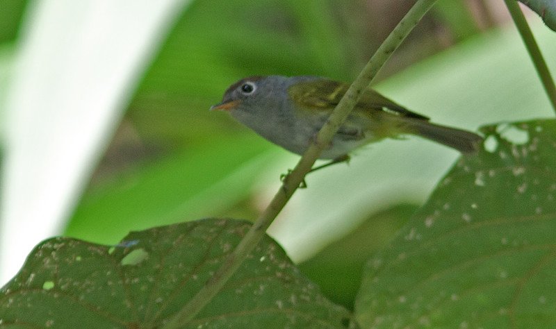 Chestnut-crowned Warbler - butleri ssp