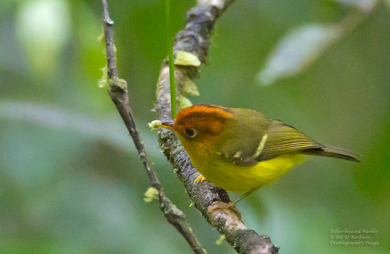 Yellow-breasted Warbler - montis ssp