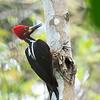 Crimson-crested Woodpecker - malherbii ssp