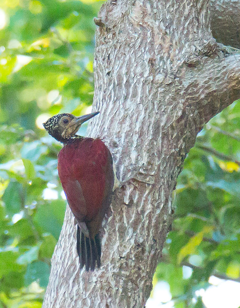 Luzon Flameback