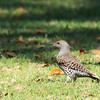 Northern Flicker - collaris ssp