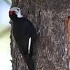 White-headed Woodpecker - gravirostris ssp