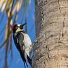 Acorn Woodpecker - bairdii ssp