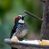 Acorn Woodpecker - striatipectus ssp