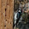 Acorn Woodpecker - formicivorus ssp