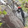 Acorn Woodpecker - bairdi ssp
