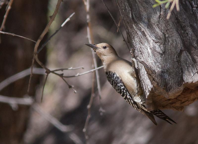 Gila Woodpecker - uropygialis ssp