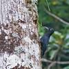 Sooty Woodpecker - funebris ssp