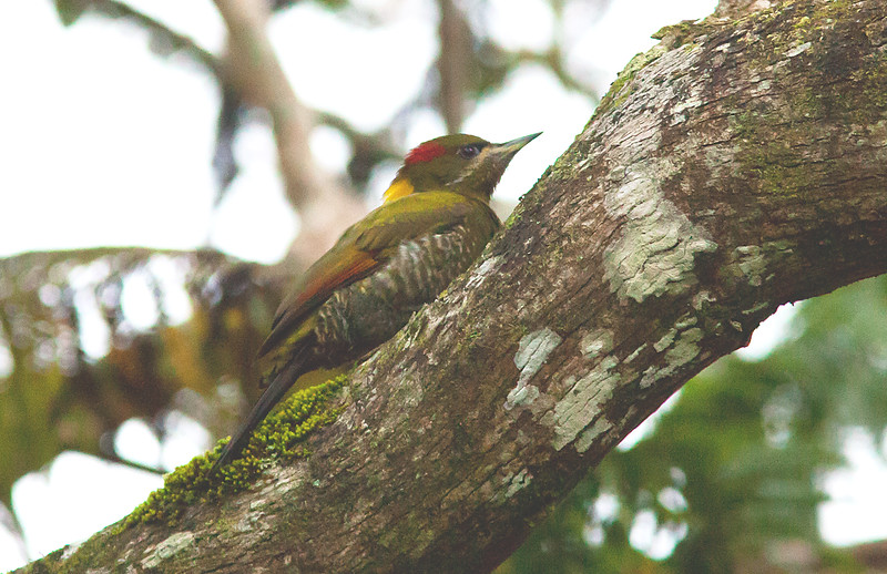 Lesser Yellownape - rodgeri ssp