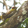Lesser Yellownape - rodgeri ssp