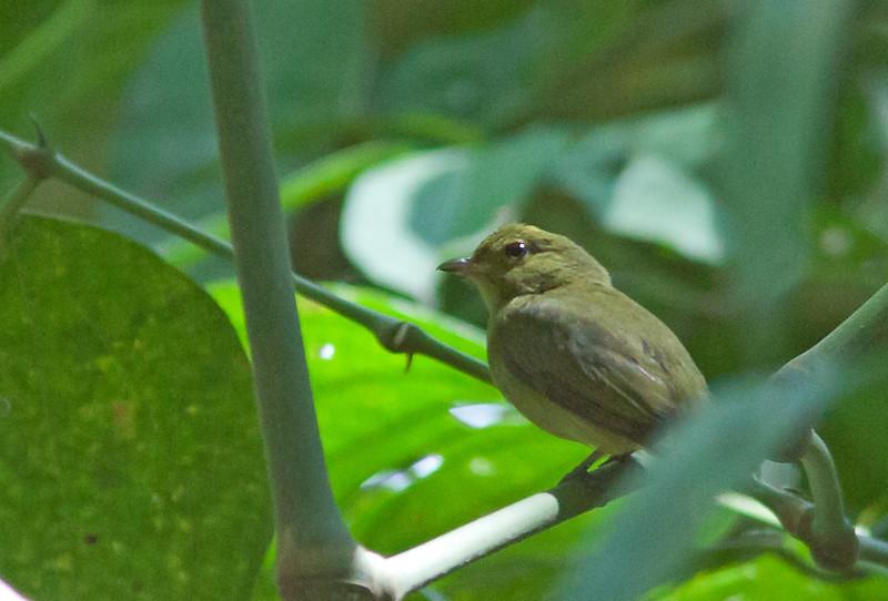 Red-capped Manakin - ignifera ssp - female