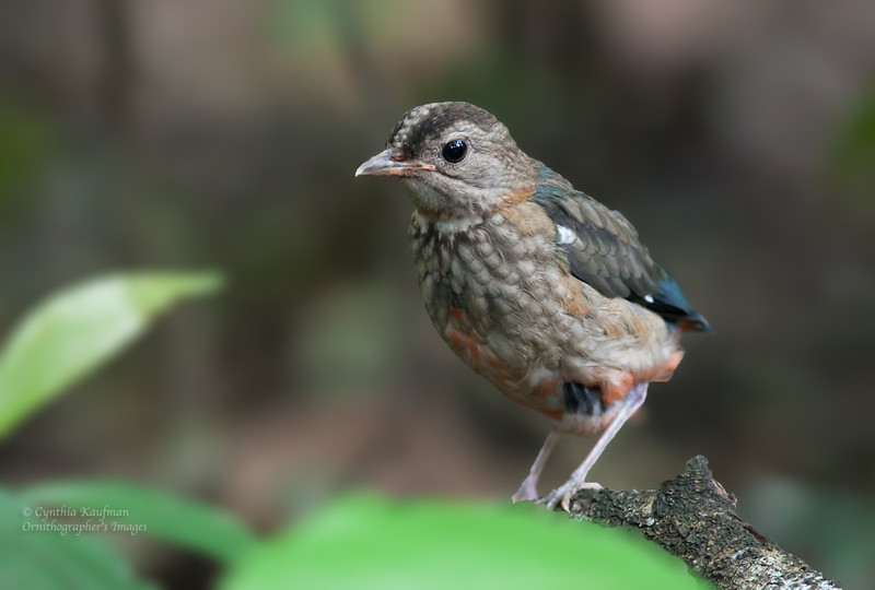 Philippine Pitta - erythrogaster ssp - immature