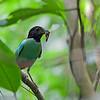 Hooded Pitta - sordida ssp - female (?)
