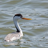 Clark's Grebe - transitionalis ssp