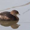 Pied-billed Grebe - podicpes ssp - immature