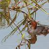 Little Grebe - philippensis ssp