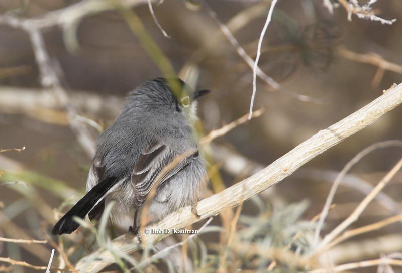 Black-tailed Gnatcatcher - lucida ssp