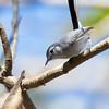 Tropical Gnatcatcher - superciliaris ssp