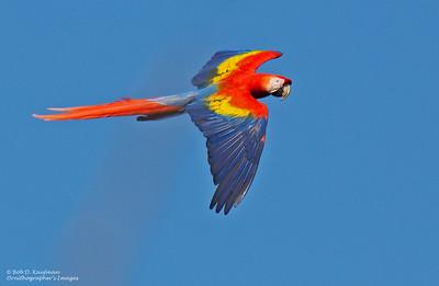 Ara macao - Scarlet Macaw