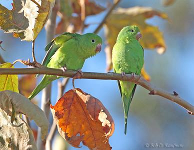 Brotogeris chiriri - Yellow-chevroned Parakeet