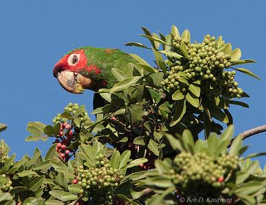 Psittacara mitratus - Mitred Parakeet