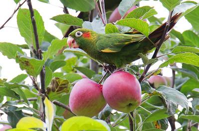 Pyrrhura hoffmanni - Sulphur-winged Parakeet