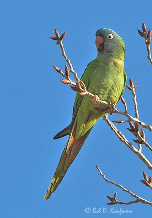 Thectocercus acuticaudatus - Blue-crowned Parakeet