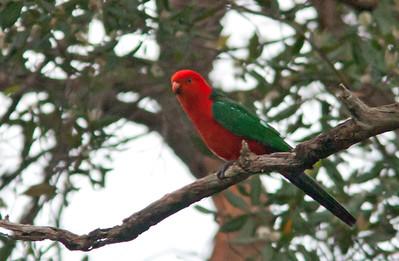 Alisterus scapularis - Australian King Parrot
