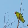 Philippine Hanging Parrot - philippensis ssp