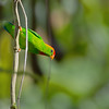 Philippine Hanging Parrot - apicalis ssp