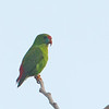 Philippine Hanging Parrot - philippensis