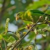 Philippine Hanging Parrot - philippensis ssp - female