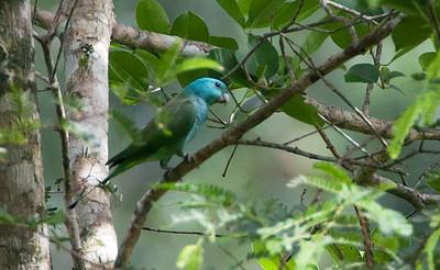 Prioniturus platenae - Blue-headed Racket-tail