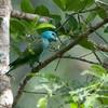 Blue-headed Racket-tail