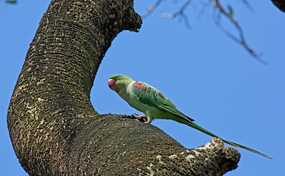 Psittacula eupatria - Alexandrine Parakeet