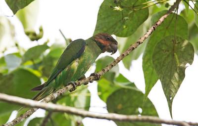 Psittacula longicauda - Long-tailed Parakeet