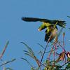 Blue-naped Parrot - lucionensis ssp