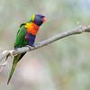 Rainbow Lorikeet - moluccanus ssp