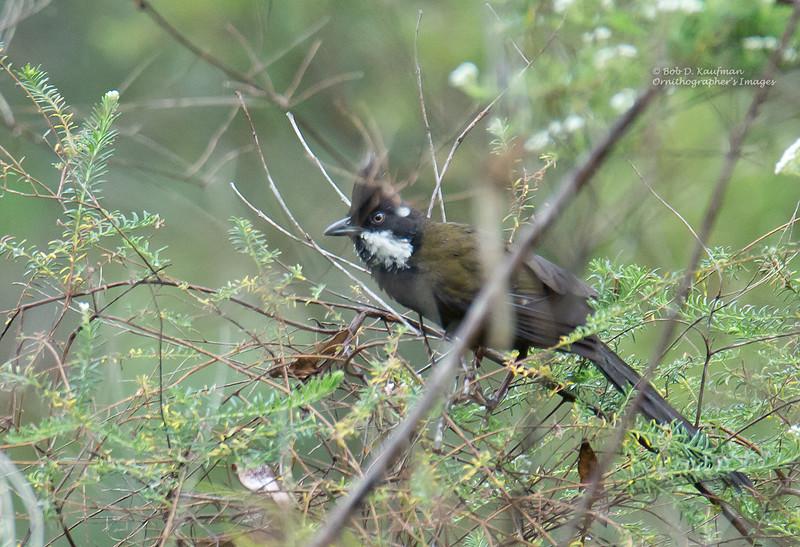 Eastern Whipbird - olivaceus ssp