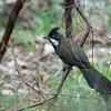 Eastern Whipbird - violaceus ssp