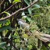 Ochraceous Bulbul - sordidus ssp