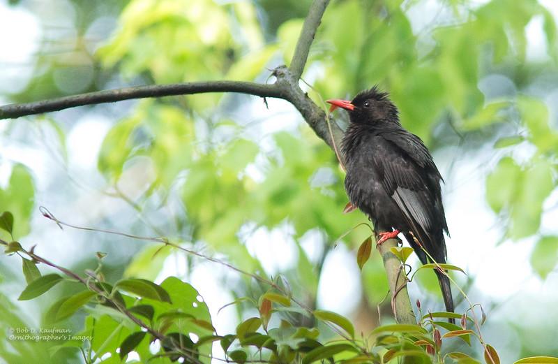 Black Bulbul - nigerrimus ssp