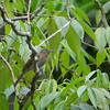 Philippine Bulbul - saturatior ssp